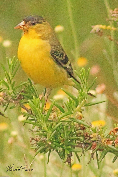 A Lesser Goldfinch taken June 10, 2011 near Bridgeville, CA.