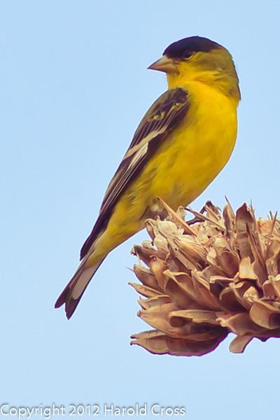 A Lesser Goldfinch taken Feb. 8, 2012 in Tucson, AZ.