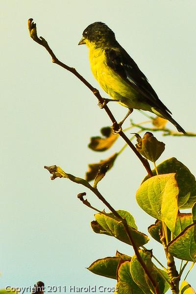 A Lesser Goldfinch taken Sep. 7, 2011 near Fruita, CO.