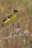 A Lesser Goldfinch taken Aug 11, 2010 near Denver, CO.