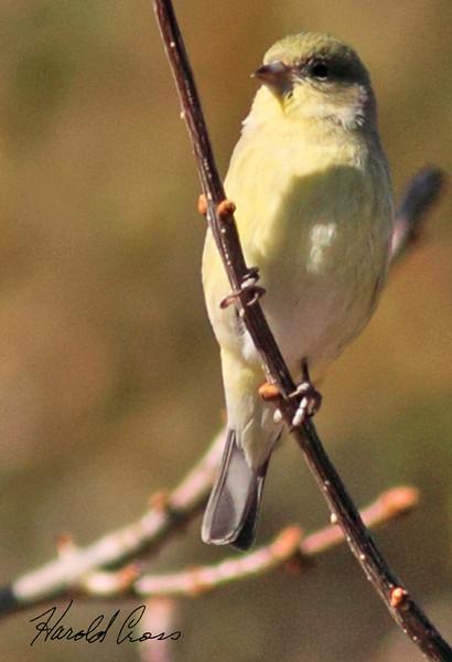 A Lesser Goldfinch taken Feb 15, 2010 in Madera Canyon, AZ.