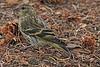 A Pine Siskin taken Sep. 25, 2010 near Bozeman, MT.