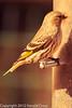 A Pine Siskin taken Feb. 27, 2012 in Madera Canyon, AZ.