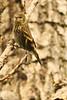 A Pine Siskin taken June 12, 2011 near Bridgeville, CA.