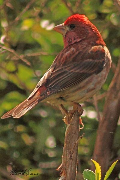 A Purple Finch taken Apr 23, 2010 near Bridgeville, CA.