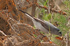A Blue-Gray Gnatcatcher taken May 18, 2010 near Fruita, CO.