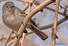 A Blue-grey Gnatcatcher taken Feb 20, 2010 in Gilbert, AZ.