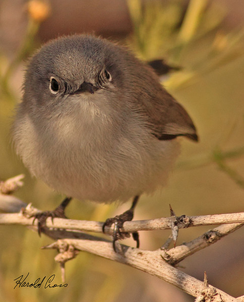 A Blue-grey Gnatcatcher taken Feb 10, 2010 in Gilbert, AZ.