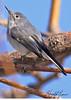 A Blue-grey Gnatcatcher taken Feb 17, 2010 in Gilbert, AZ.