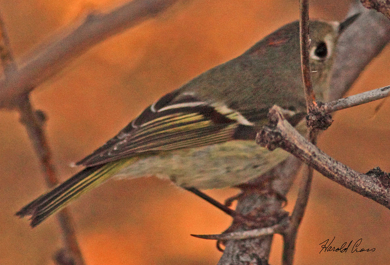 A Ruby-crowned Kinglet taken Feb 12, 2010 in Gilbert, AZ.