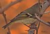 A Ruby-crowned Kinglet taken Feb 12, 2010 in Gilbert, AZ.