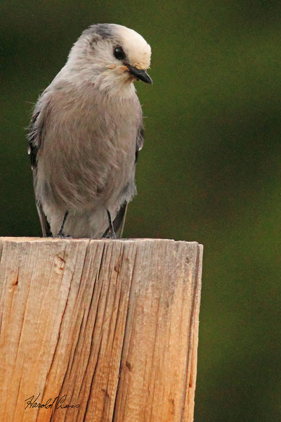 A Gray Jay taken Aug 26, 2010 near Cimmaron, CO.