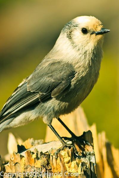 A Gray Jay taken May 22, 2012 near Grand Mesa, CO.