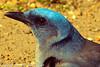 A Mexican Jay taken Feb. 27, 2012 in Madera Canyon, AZ.