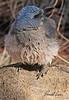 A Mexican Jay taken Feb 15, 2010 in Madera Canyon, AZ.