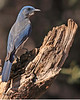 A Mexican Jay taken Feb 15, 2010 in Madera Canyon, AZ.