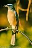 A Mexican Jay taken Feb. 6, 2012 in  Madera Canyon, AZ.