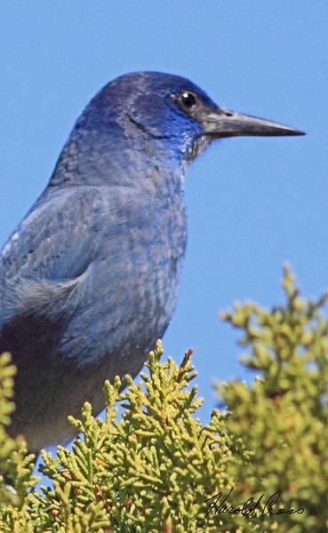 A Pinyon Jay taken Apr 10, 2010 near Fruita, CO.