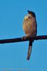 A Pinyon Jay taken Oct. 19, 2011 near Fruita, CO.