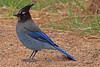 A Stellar's Jay taken Oct. 7, 2010 near Monte Vista, CO.