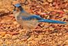 A Western Scrub Jay taken Nov. 3, 2011 near Tucson, AZ.