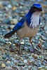 A Western Scrub Jay taken Sep. 28, 2011 near Merced, CA.
