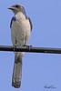 A Western Scrub Jay taken Apr 15, 2010 in Sacramento, CA.