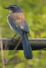 A Western Scrub Jay taken June 14, 2011 near Bridgeville, CA.