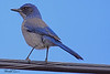 A Western Scrub Jay taken Apr 6, 2010 near Fruita, CO.