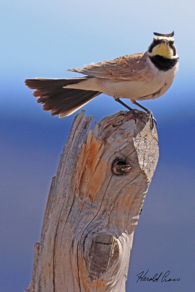 A Horned Lark taken May 19, 2010 near Fruita, CO.