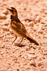 A Horned Lark taken July 3, 2011 near Portales, NM.