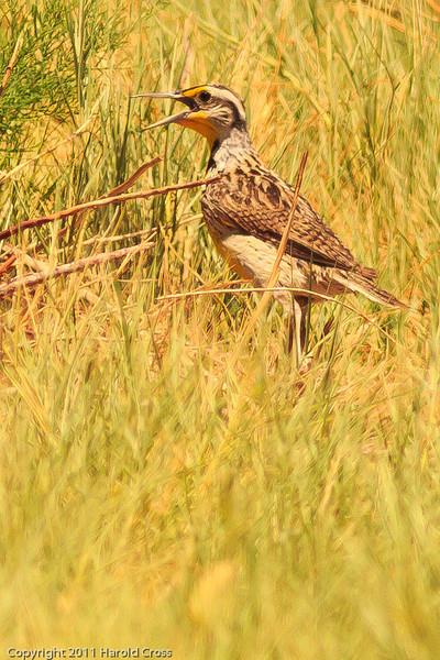 A Western Meadowlark taken July 18, 2011 near Roswell, NM.