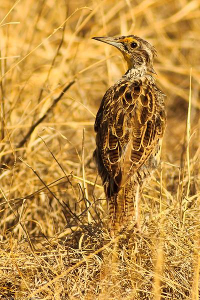 A Western Meadowlark taken July 13, 2011 near Las Vegas, NM.