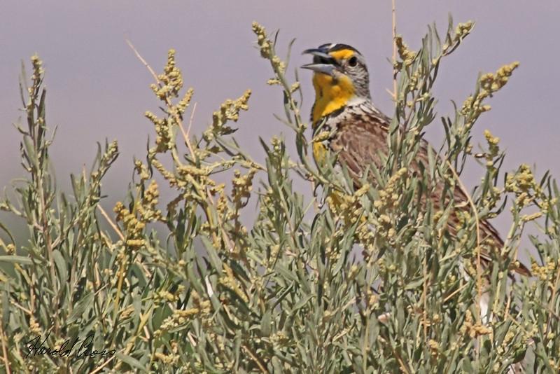 A Western Meadowlark taken Jun 22, 2010 near Fruita, CO.