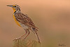 A Western Meadowlark taken Jun 11, 2010 near Fruita, CO.