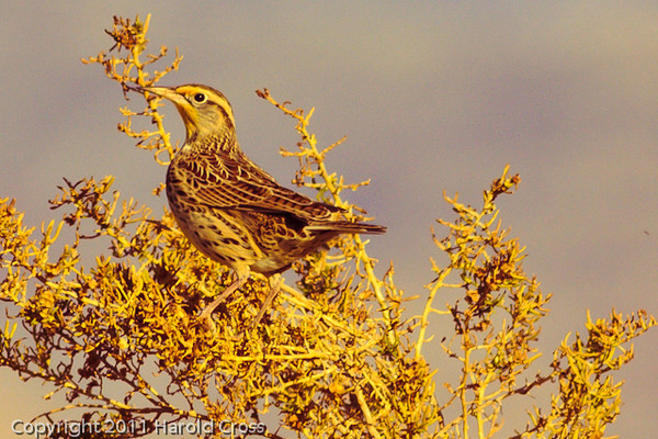 A Western Meadowlark taken Nov. 8, 2011 near Fruita, CO.