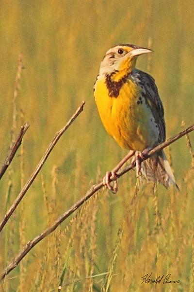 A Western Meadowlark taken July 26, 2010 near Portales, NM.