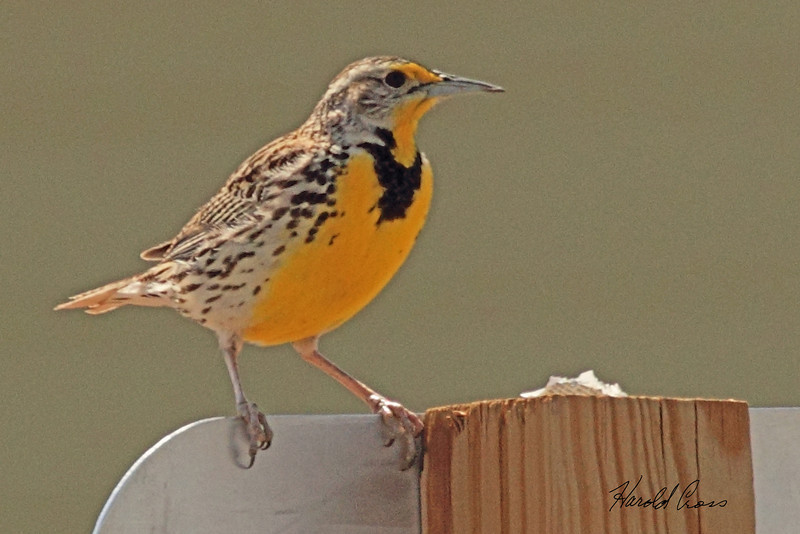A Western Meadowlark taken April 15, 2011 near Fruita, CO.