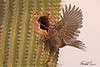 A Curve-billed Thrasher taken Feb 20, 2010 in Gilbert, AZ.