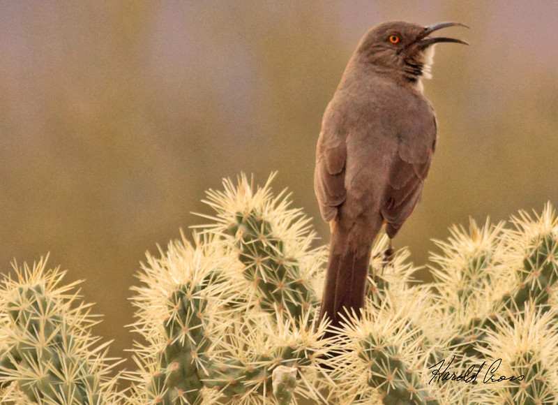 A Curve-billed Thrasher taken Jan 31, 2010 in Apache Junction, AZ.