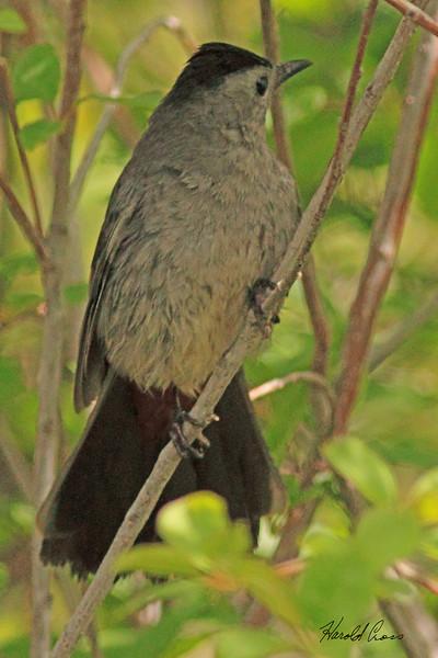 A Gray Catbird taken May 26, 2010 near Bozeman, MT.