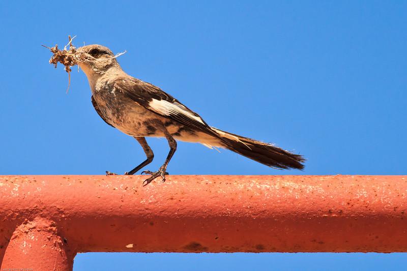 A Northern Mockingbird taken Jul 14, 2011 near Portales, NM.