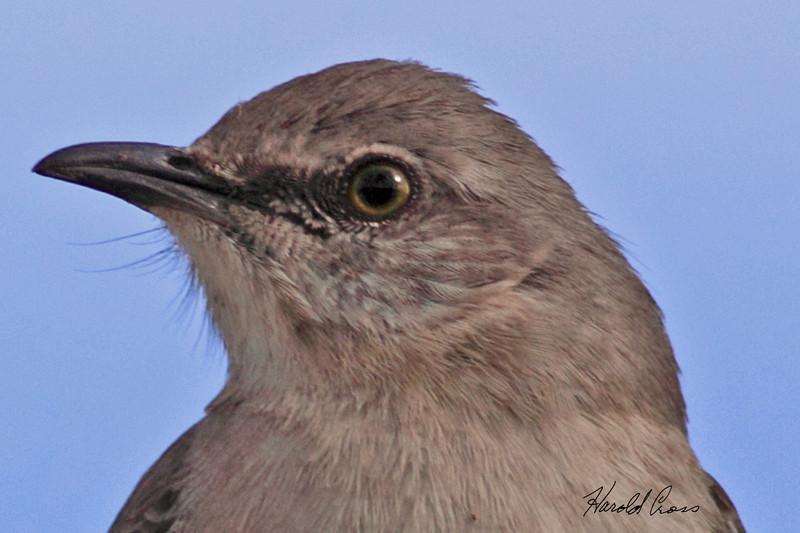 A Northern Mockingbird taken Jan 29, 2010 in Phoenix, AZ.