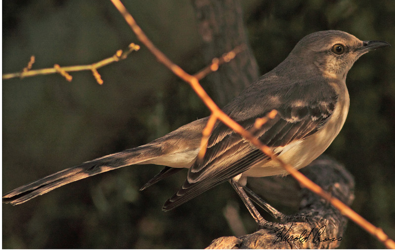 A Northern Mockingbird taken Feb 1, 2010 in Phoenix, AZ.