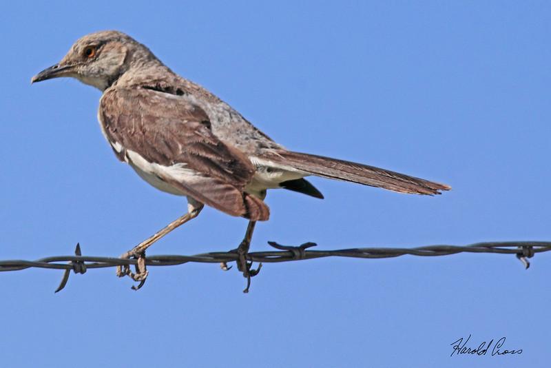 An Northern Mockingbird taken July 25, 2010 near Portales, NM.
