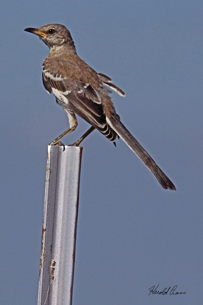 A Northern Mockingbird taken July 22, 2010 near Portales, NM.