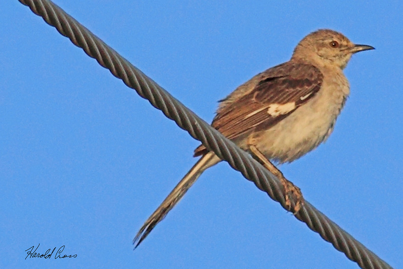A Northern Mockingbird taken July 26, 2010 near Portales, NM.