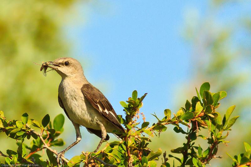 A Northern Mockingbird taken July 13, 2011 near Las Vegas, NM.