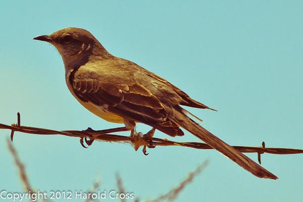 A Northern Mockingbird taken May 24, 2012 near Fruita, CO.