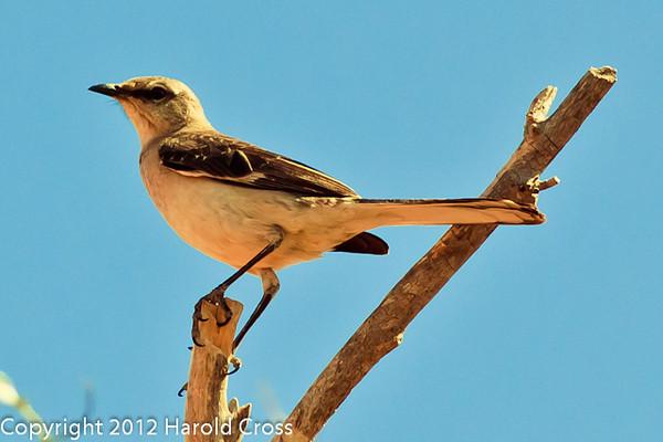 A  Northern Mockingbird taken April 28, 2012 near Portales, NM.